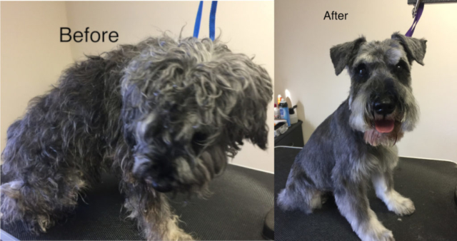 before and after, pet grooming, dog